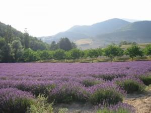 Lavendelfält